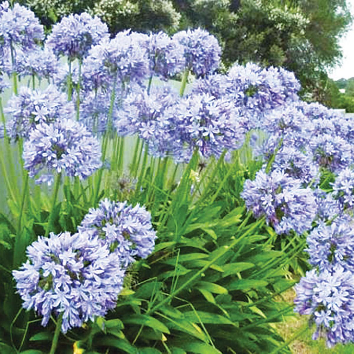 Agapanthus Plants High Quality Plant Breeding Whetman Plants